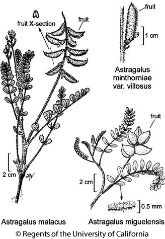 botanical illustration including Astragalus malacus