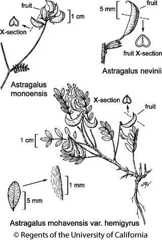 botanical illustration including Astragalus monoensis