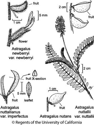 botanical illustration including Astragalus nuttallianus var. imperfectus