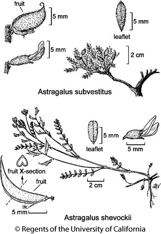 botanical illustration including Astragalus subvestitus