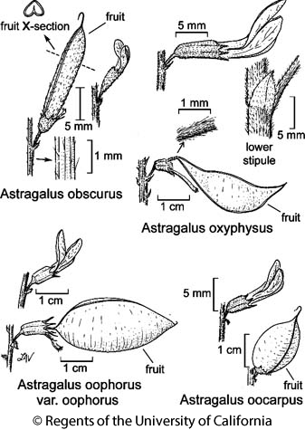 botanical illustration including Astragalus oxyphysus