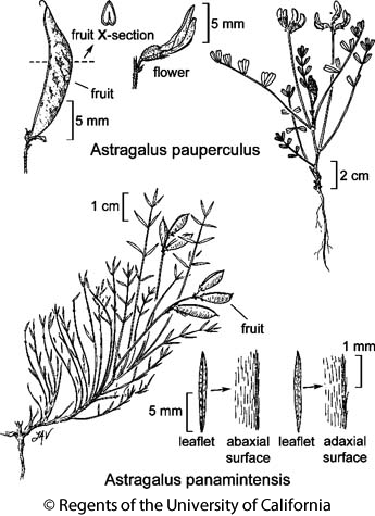botanical illustration including Astragalus panamintensis