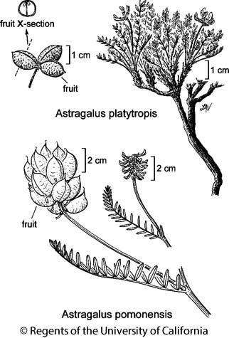 botanical illustration including Astragalus platytropis