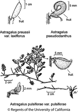 botanical illustration including Astragalus pseudiodanthus