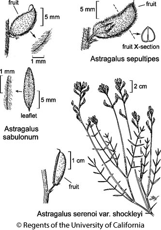 botanical illustration including Astragalus serenoi var. shockleyi