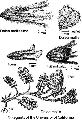 botanical illustration including Dalea mollis