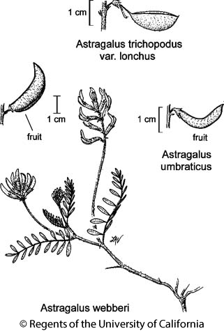 botanical illustration including Astragalus trichopodus var. lonchus