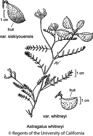 botanical illustration including Astragalus whitneyi var. whitneyi