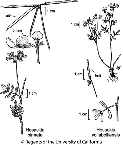 botanical illustration including Hosackia yollabolliensis