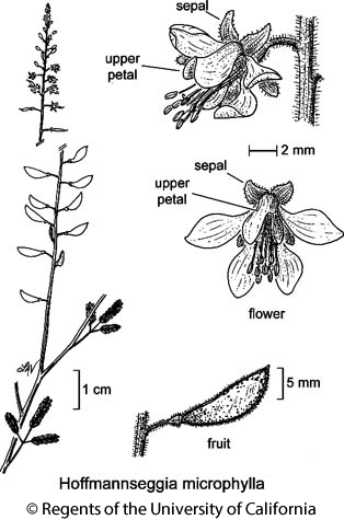 botanical illustration including Hoffmannseggia microphylla