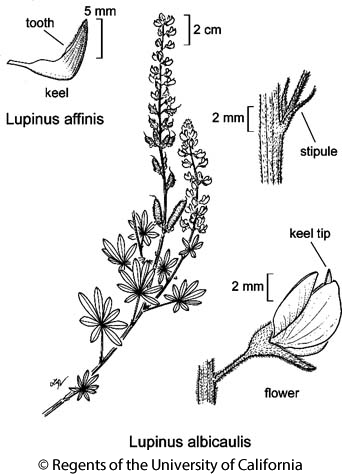 botanical illustration including Lupinus affinis
