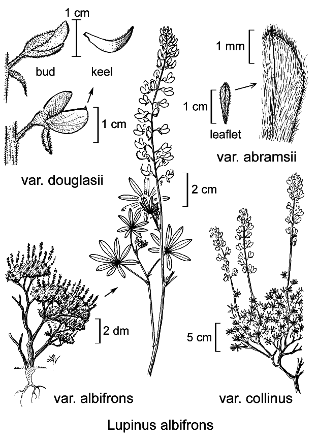 botanical illustration including Lupinus albifrons var. douglasii
