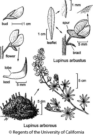 botanical illustration including Lupinus arbustus