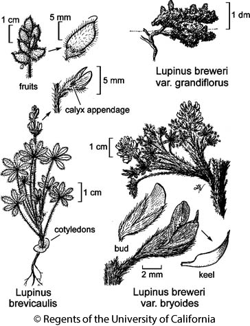 botanical illustration including Lupinus breweri var. grandiflorus