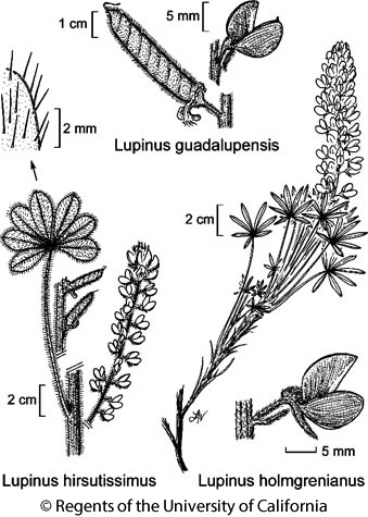 botanical illustration including Lupinus hirsutissimus
