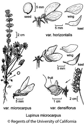 botanical illustration including Lupinus microcarpus var. microcarpus