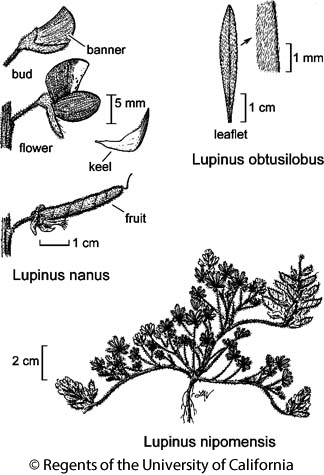 botanical illustration including Lupinus obtusilobus
