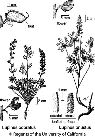 botanical illustration including Lupinus onustus