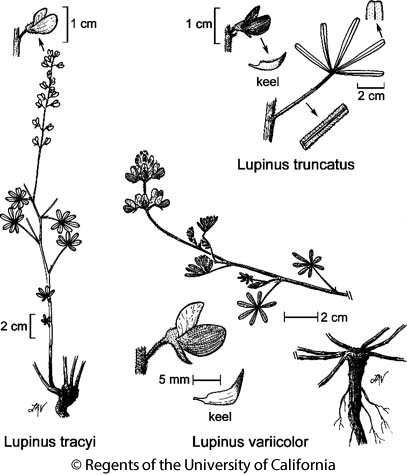 botanical illustration including Lupinus truncatus