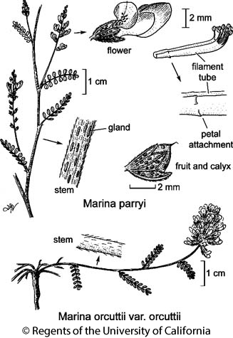 botanical illustration including Marina parryi