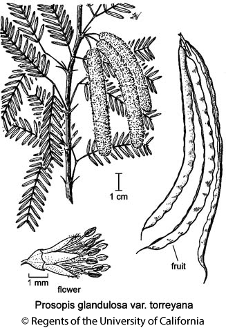 botanical illustration including Prosopis glandulosa var. torreyana