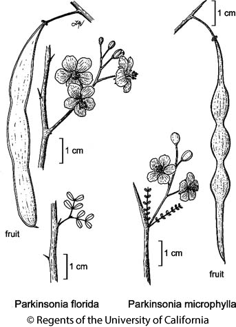 botanical illustration including Parkinsonia florida