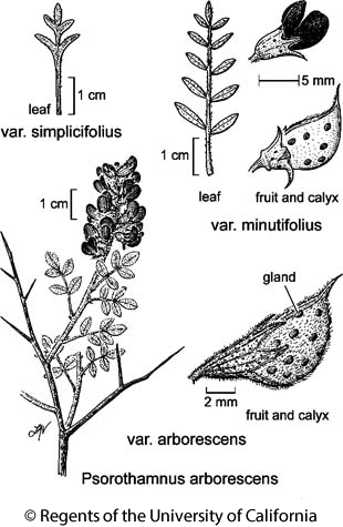 botanical illustration including Psorothamnus arborescens var. minutifolius