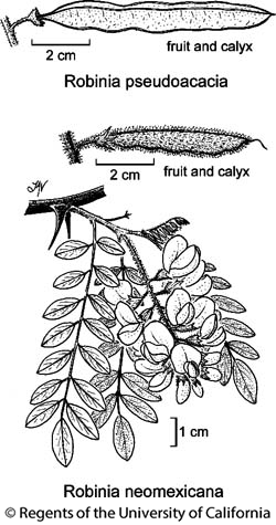botanical illustration including Robinia pseudoacacia