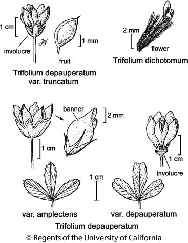 botanical illustration including Trifolium depauperatum var. truncatum