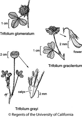botanical illustration including Trifolium gracilentum