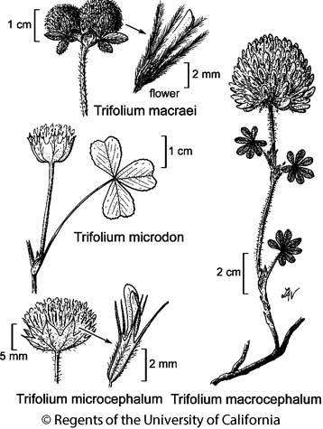 botanical illustration including Trifolium macrocephalum