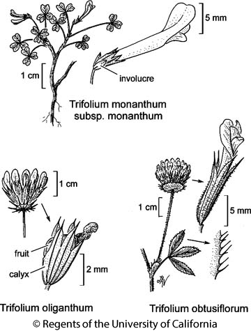 botanical illustration including Trifolium obtusiflorum