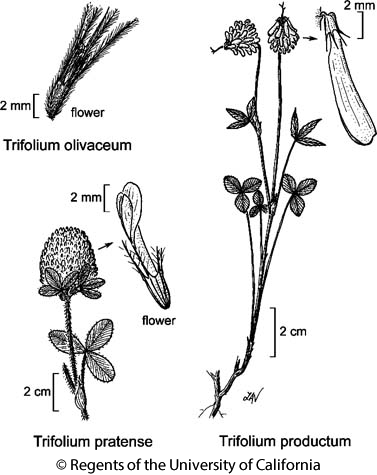 botanical illustration including Trifolium pratense