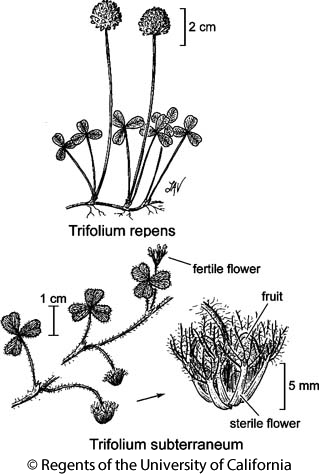 botanical illustration including Trifolium subterraneum