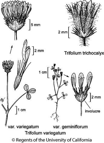botanical illustration including Trifolium variegatum var. geminiflorum