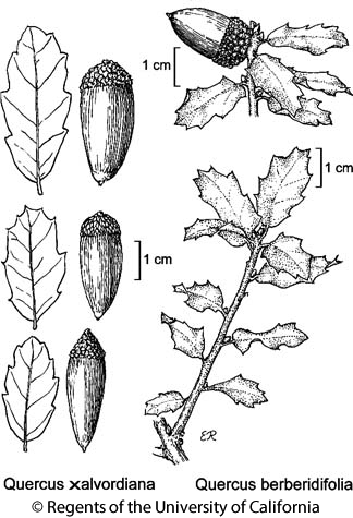 botanical illustration including Quercus berberidifolia