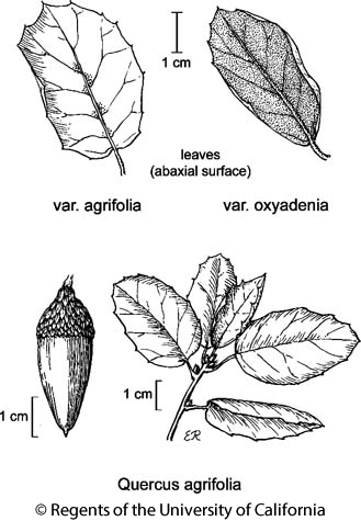botanical illustration including Quercus agrifolia var. oxyadenia