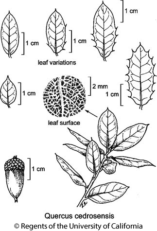 botanical illustration including Quercus cedrosensis
