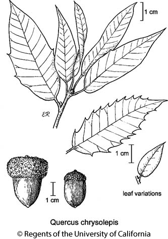 botanical illustration including Quercus chrysolepis