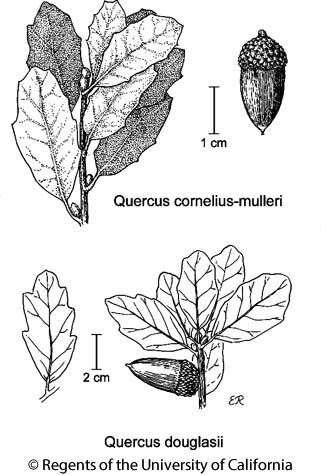botanical illustration including Quercus douglasii