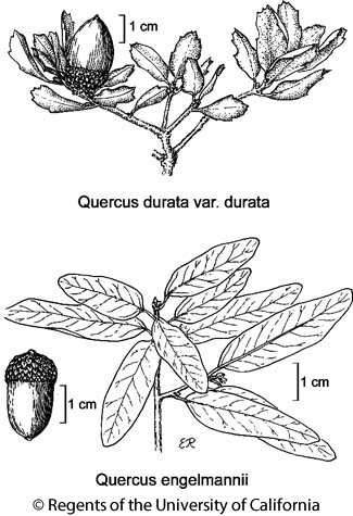 botanical illustration including Quercus engelmannii