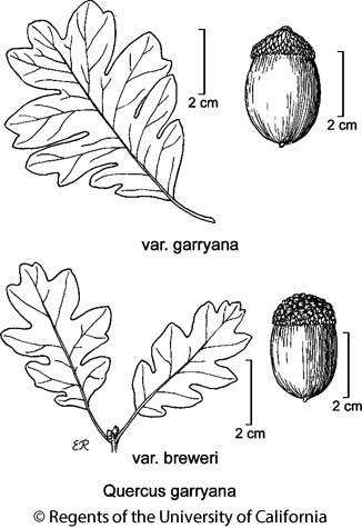 botanical illustration including Quercus garryana var. garryana