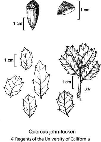 botanical illustration including Quercus john-tuckeri
