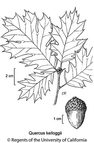 botanical illustration including Quercus kelloggii