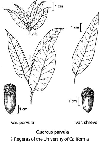 botanical illustration including Quercus parvula var. shrevei
