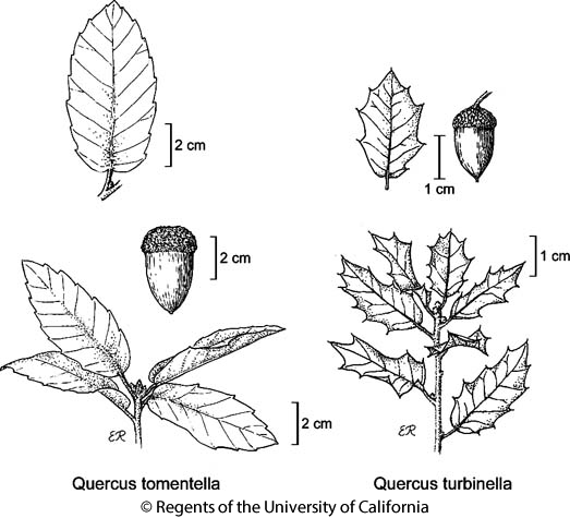 botanical illustration including Quercus turbinella