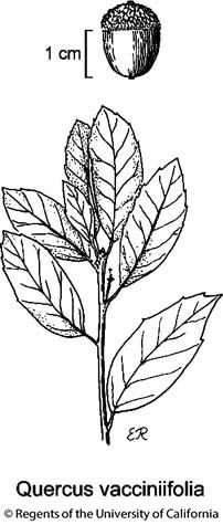 botanical illustration including Quercus vacciniifolia