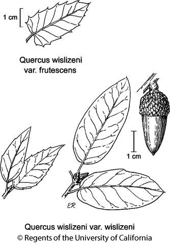 botanical illustration including Quercus wislizeni var. wislizeni