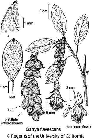botanical illustration including Garrya flavescens