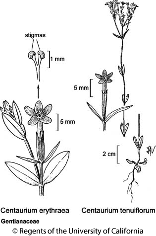 botanical illustration including Centaurium erythraea